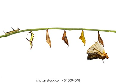 Isolated transformation of common map (Cyrestis thyodamas ) butterfly from caterpillar with clipping path