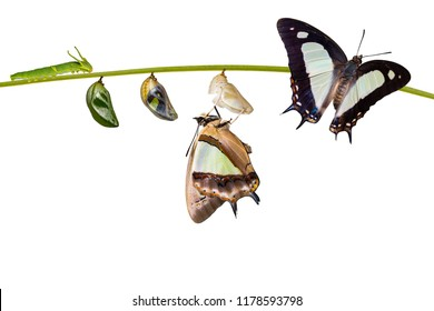 Isolated transformation and life cycle of common nawab butterfly ( Polyura athamas ) from caterpillar chrysalis hanging on twig , metamorphosis , growth with clipping path