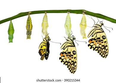 Isolated transformation of Lime Butterfly (papilio demoleus) with clipping path