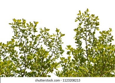 Isolated tree branch over white background. Green concepts.