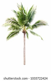 Isolated tree Coconut on white background