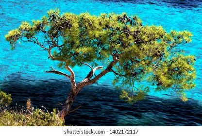 Isolated tree in front of blue turquoise water of calanque de sormiou, calanque national park, south france, marseille, mediterranean sea, cassis