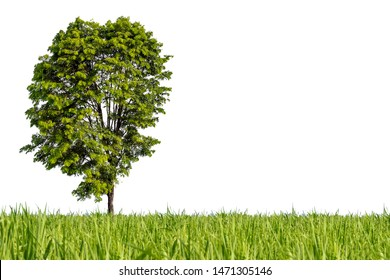 Isolated tree in the grass field on white background. Can used in architectural design or Decoration work. Suitable for natural articles both on fine print and web page.