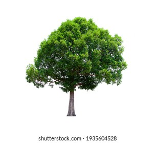 isolated tree green on a white background. Collection of isolated tree on white background Tropical tree