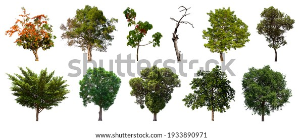 isolated tree green set is located on a white background. Collection of isolated tree green on white background Tropical tree