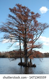Isolated tree growing in bay area, Edenton, NC