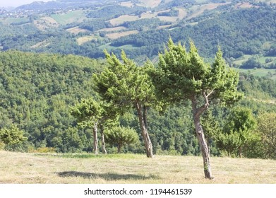 Isolated tree in the Italian countryside (Marche, Italy, Europe)