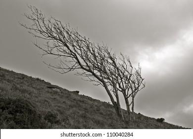 Isolated tree on the Cornish Coast