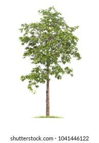 Isolated tree on white background .