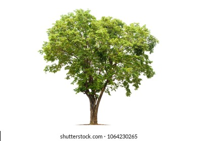 Isolated tree on white background.It is Burmese Rosewood,Andaman Redwood,Amboyna or Padauk.Can see in the forest at Thailand.