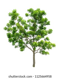 Isolated Tree on white background ,Suitable for use in landscape design, Tree from thailand, Asia