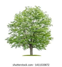 Isolated  tree on a white background - Robinia pseudoacacia- False acacia