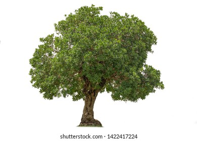 Isolated of tree on white background.