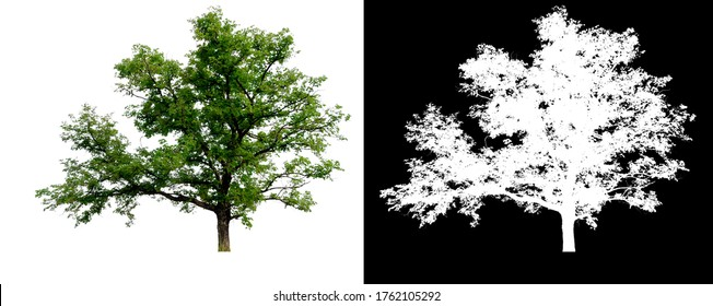 isolated tree on white background with clipping path and alpha channel