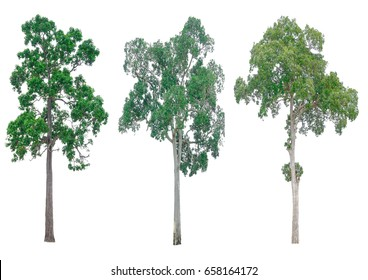 Isolated tree on white background , The collection of trees.