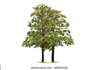 Isolated tree on white background  tropical trees used for design,advertising and architecture