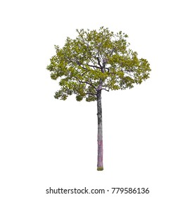 Isolated tree on white background, tropical trees isolated used for design, advertising and architecture