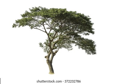 isolated tree on white with clipping path