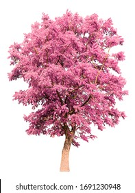 isolated tree with pink leaves on white background