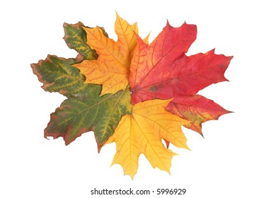 isolated tree white autumn colored maple leaf