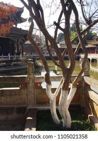 Isolated tree in Yuantong Temple (Kunming,Yunnan, China)