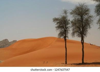 isolated trees in Oman desert