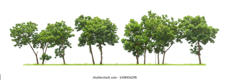 Isolated trees in a row on white background