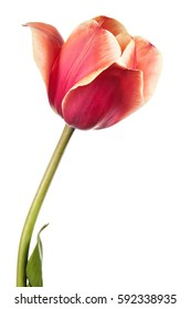 Isolated tulip flower on a white background