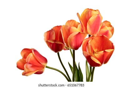 Isolated tulips on a white background