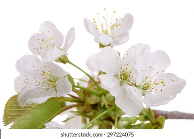 isolated twig with leaves and bloom of cherry tree