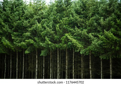 Isolated view of a Dense Row of Tall Douglas Fir Christmas Trees