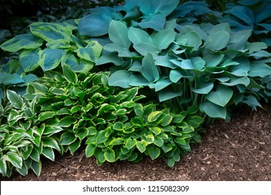 Isolated view of a hosta plant mix, green, white, blue, and yellow foliage, soil ground