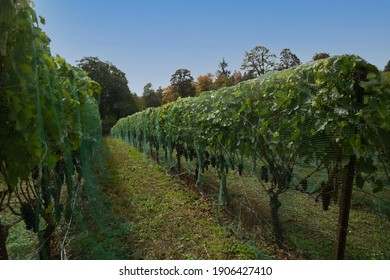 Isolated view of old wood netted grape vines, leaves and red grapes with blue sky overhead - Oregon