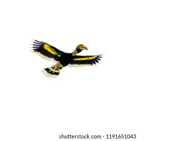 Isolated viewof Hornbill