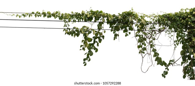 Isolated vine plant on white background. Clipping path