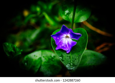 isolated violet flower in rainy day