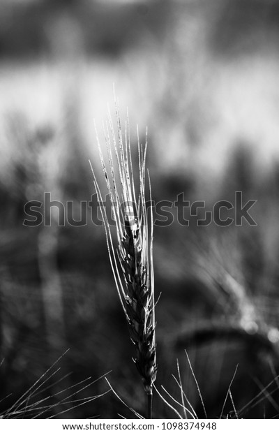 An isolated wheats plant of a wheat field unique black and white photograph