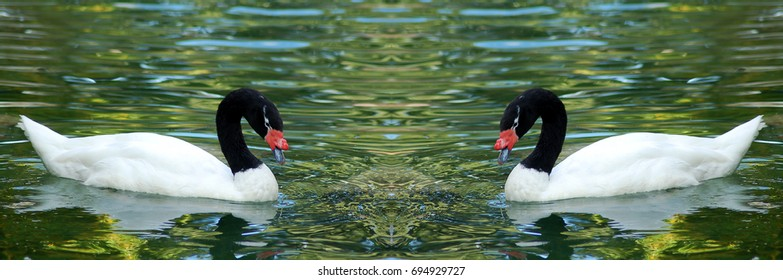 isolated white Black necked cygnus Swan bird couple swimming in water