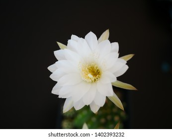 an isolated white cactus flower on black background