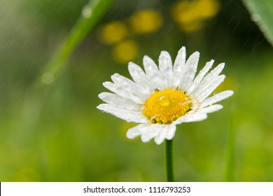 Isolated white Chamomile flower close up photo with green background at nature