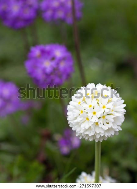 Isolated White circular flower head covered with small blooms with blurred purple flowers in background (Guelder Rose Roseum)