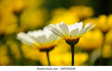 Isolated white daisies and blurred background of yellow flowers