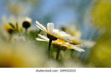 Isolated white daisies in full splendor on the meadow