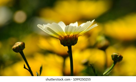 Isolated white daisy and blurred yellow background