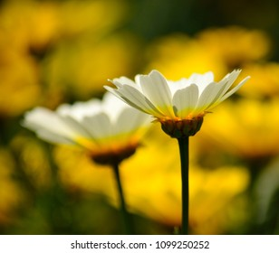 Isolated white daisy in foreground and blurred yellow background