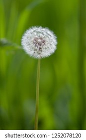 An isolated white dandelion seed head in a green pasture