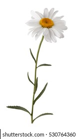 Isolated white flower with stem