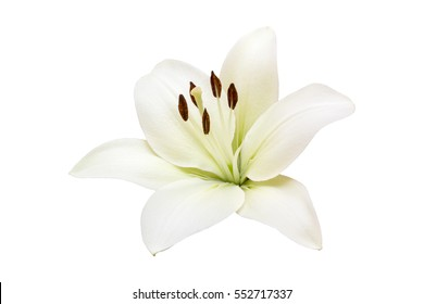 isolated white Lilly flower on white background