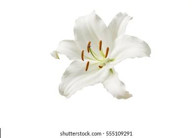 einzelne weiße Lilblume auf weißem Hintergrund