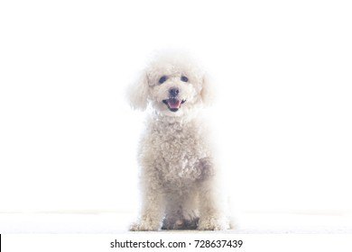An isolated white Maltipoo puppy sitting